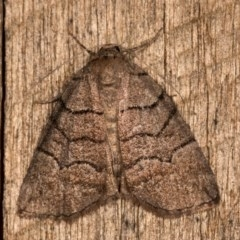 Dysbatus undescribed species (A Line-moth) at Melba, ACT - 20 Oct 2020 by kasiaaus