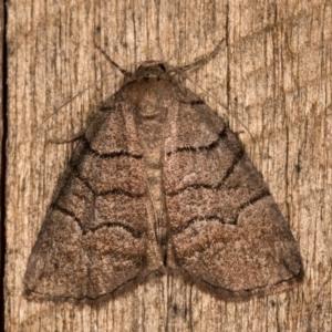 Dysbatus undescribed species at Melba, ACT - 20 Oct 2020