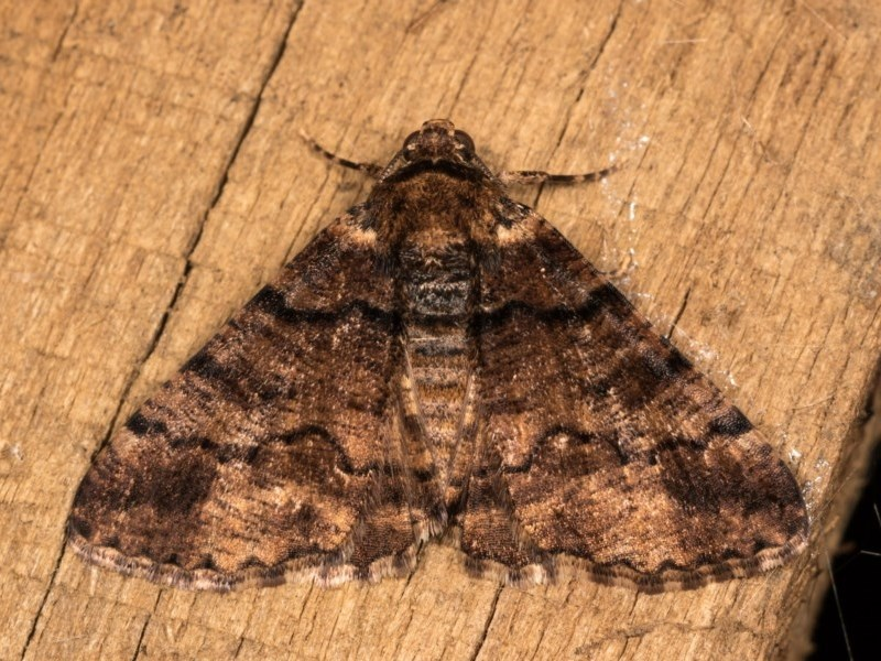 Cryphaea xylina at Melba, ACT - 20 Oct 2020