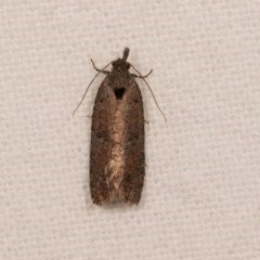 Rupicolana orthias (A tortrix or leafroller moth) at Melba, ACT - 20 Oct 2020 by kasiaaus