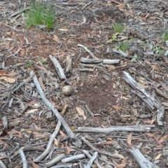 Burhinus grallarius (Bush Stone-curlew) at Forde, ACT - 18 Oct 2020 by MattFox