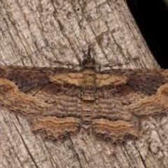 Chloroclystis filata (Filata Moth, Australian Pug Moth) at Melba, ACT - 20 Oct 2020 by kasiaaus