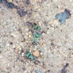 Rhytidoponera metallica (Greenhead ant) at Woodstock Nature Reserve - 24 Oct 2020 by tpreston