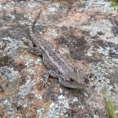 Amphibolurus muricatus (Jacky Dragon) at Mount Taylor - 23 Oct 2020 by Shazw