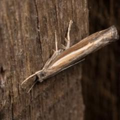 Ptochostola microphaeellus (A Crambid moth) at Melba, ACT - 20 Oct 2020 by kasiaaus