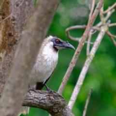 Philemon corniculatus (Noisy Friarbird) at Albury - 24 Oct 2020 by GeoffHudson