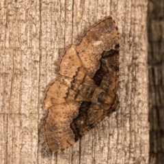 Aporoctena (genus) (A Geometrid moth) at Melba, ACT - 20 Oct 2020 by kasiaaus