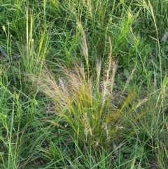 Austrostipa scabra (Corkscrew Grass) at Hughes, ACT - 22 Oct 2020 by TomT