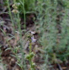 Linaria arvensis (Corn Toadflax) at Hughes, ACT - 22 Oct 2020 by TomT