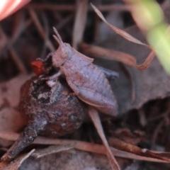 Goniaea sp. (genus) (TBC) at Uriarra, NSW - 3 Oct 2020 by Sarah2019