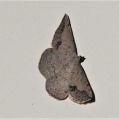 Taxeotis intextata (Looper Moth, Grey Taxeotis) at Wanniassa, ACT - 22 Oct 2020 by JohnBundock