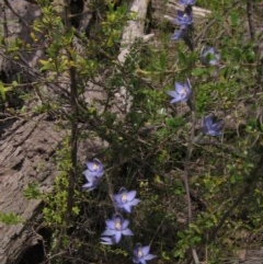 Thelymitra peniculata (Trim sun orchid) at The Pinnacle - 23 Oct 2020 by pinnaCLE