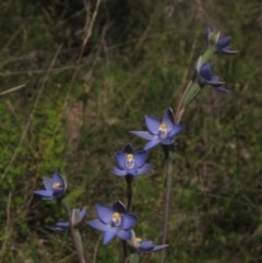 Thelymitra sp. (A sun orchid) at The Pinnacle - 23 Oct 2020 by pinnaCLE