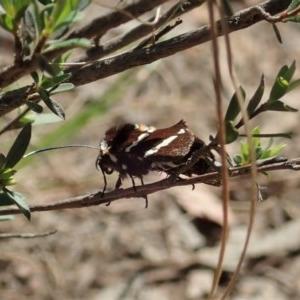 Hecatesia fenestrata at Aranda Bushland - 22 Oct 2020