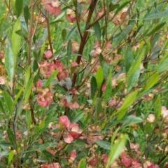 Dodonaea viscosa (Hop Bush) at Deakin, ACT - 24 Oct 2020 by JackyF
