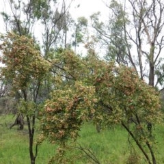 Dodonaea viscosa at Deakin, ACT - 24 Oct 2020