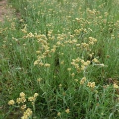 Pseudognaphalium luteoalbum (Jersey Cudweed) at Hughes Grassy Woodland - 24 Oct 2020 by JackyF