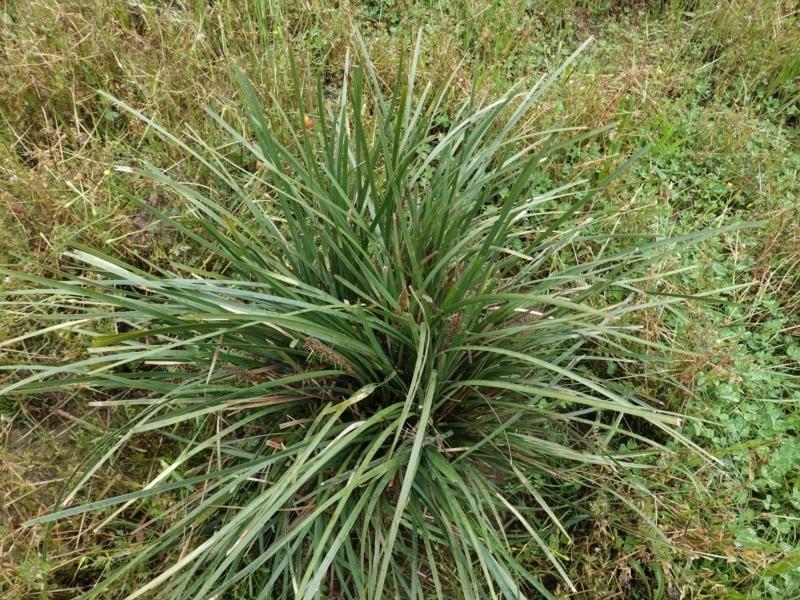 Lomandra longifolia at Deakin, ACT - 24 Oct 2020