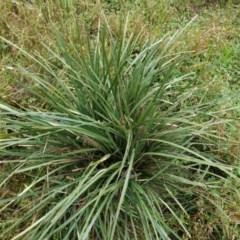 Lomandra longifolia (Spiny-headed Mat-rush, Honey Reed) at Deakin, ACT - 24 Oct 2020 by JackyF