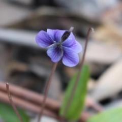 Viola betonicifolia (Purple Violet) at Uriarra, NSW - 3 Oct 2020 by Sarah2019