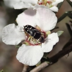 Mordellidae sp. (family) (Unidentified pintail or tumbling flower beetle) at Aranda Bushland - 22 Oct 2020 by CathB