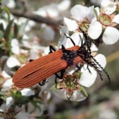 Porrostoma rhipidium (Long-nosed Lycid (Net-winged) beetle) at Aranda Bushland - 23 Oct 2020 by CathB
