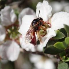 Exoneura sp. (genus) (A reed bee) at Aranda Bushland - 22 Oct 2020 by CathB