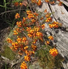 Dillwynia sericea (Egg and Bacon Peas) at The Pinnacle - 23 Oct 2020 by pinnaCLE