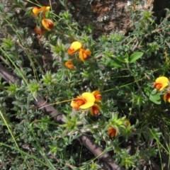 Pultenaea procumbens (Bush Pea) at The Pinnacle - 23 Oct 2020 by pinnaCLE