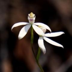 Caladenia moschata (Musky caps) at Deua National Park (CNM area) - 23 Oct 2020 by trevsci