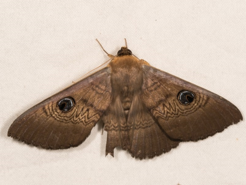 Dasypodia selenophora at Melba, ACT - 22 Oct 2020