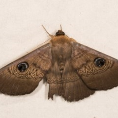 Dasypodia selenophora (Southern old lady moth) at Melba, ACT - 22 Oct 2020 by kasiaaus