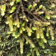 Unidentified Moss / Liverwort / Hornwort (TBC) at Wattamolla, NSW - 23 Oct 2020 by WattaWanderer