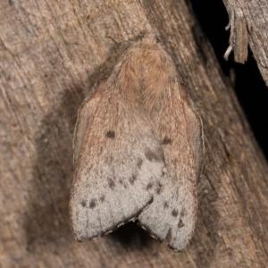 Symphyta undescribed species at Melba, ACT - 22 Oct 2020