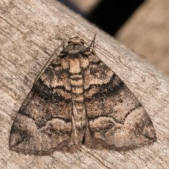 Dysbatus undescribed species (A Line-moth) at Melba, ACT - 22 Oct 2020 by kasiaaus