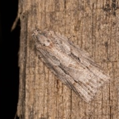 Acropolitis rudisana (A leafroller moth) at Melba, ACT - 22 Oct 2020 by kasiaaus