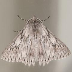 Cyneoterpna wilsoni (Wilson's Grey) at Melba, ACT - 22 Oct 2020 by kasiaaus