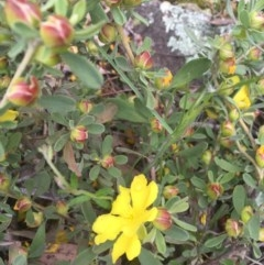 Hibbertia obtusifolia (Grey Guinea-flower) at O'Malley, ACT - 24 Oct 2020 by Tapirlord