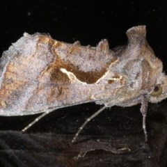 Chrysodeixis subsidens (A Noctuid moth) at Ainslie, ACT - 23 Oct 2020 by jbromilow50