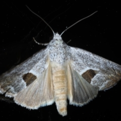 Armactica conchidia at Ainslie, ACT - 23 Oct 2020