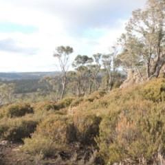 Allocasuarina nana (Dwarf She-oak) at Bombala, NSW - 21 Jul 2020 by michaelb