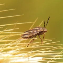 Pentatomoidea (superfamily) (Unidentified Shield or Stink bug) at Mount Jerrabomberra - 23 Oct 2020 by TmacPictures
