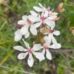 Burchardia umbellata (Milk Maids) at Mount Taylor - 24 Oct 2020 by Shazw