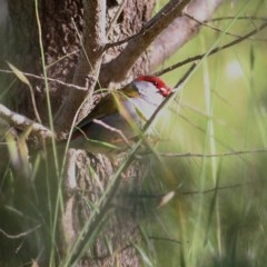 Neochmia temporalis (Red-browed Finch) at Wodonga - 24 Oct 2020 by Kyliegw