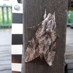 Agrius convolvuli (Convolvulus Hawk Moth) at Mossy Point, NSW - 24 Oct 2020 by HelenR