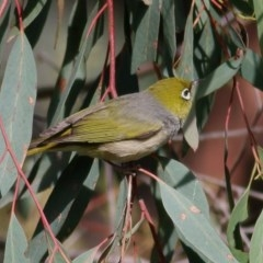 Zosterops lateralis (Silvereye) at Felltimber Creek NCR - 24 Oct 2020 by Kyliegw