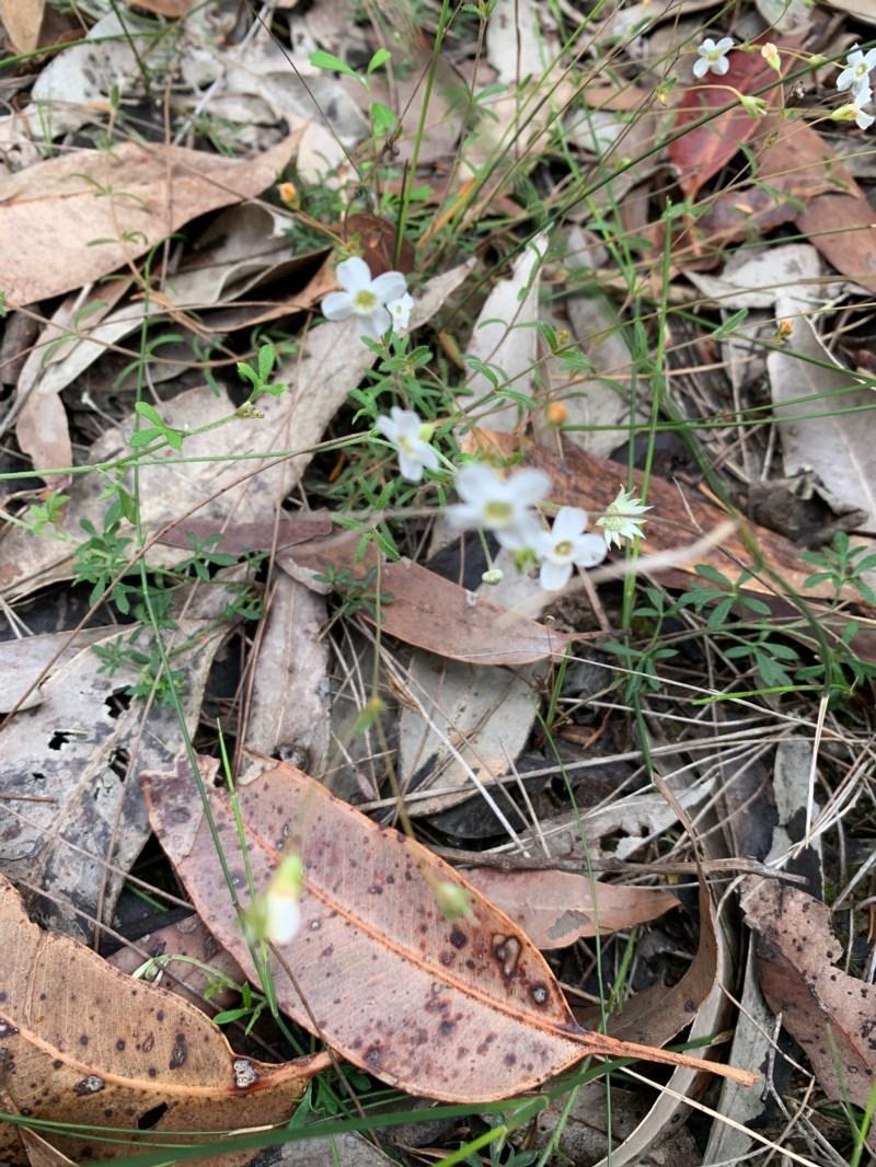 Mitrasacme polymorpha at Meroo National Park - 24 Oct 2020
