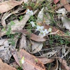Mitrasacme polymorpha (Varied Mitrewort) at Meroo National Park - 24 Oct 2020 by margotallatt