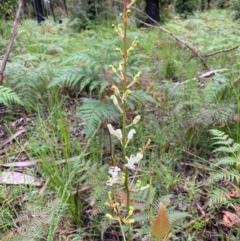 Lomatia ilicifolia (Holly Lomatia) at Meroo National Park - 24 Oct 2020 by margotallatt