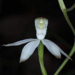 Caladenia moschata (Musky caps) at Black Mountain - 24 Oct 2020 by jbromilow50